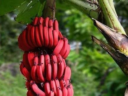 red-banana-500x500